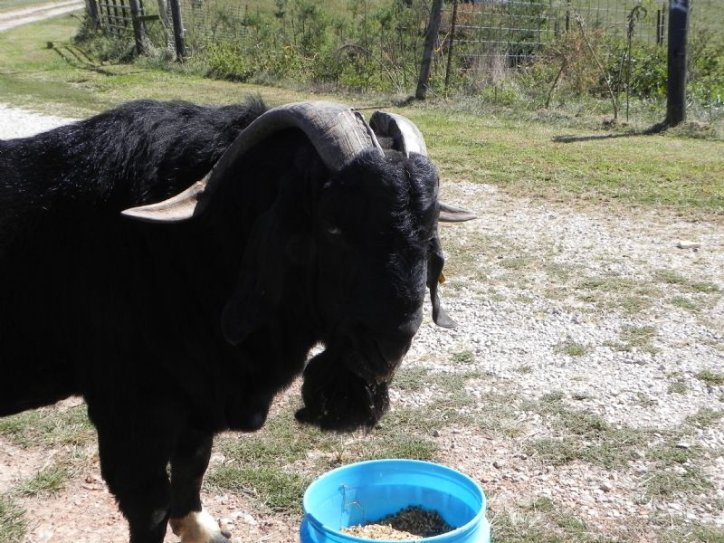 Whispering Pines Black Dayo - Boer Goat Buck