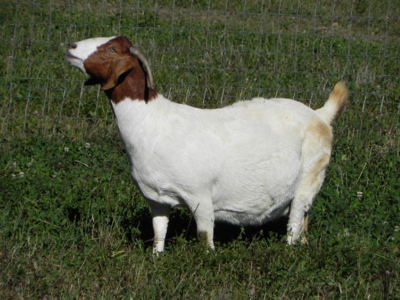 Cane Run's Hope - Boer Goat Doe