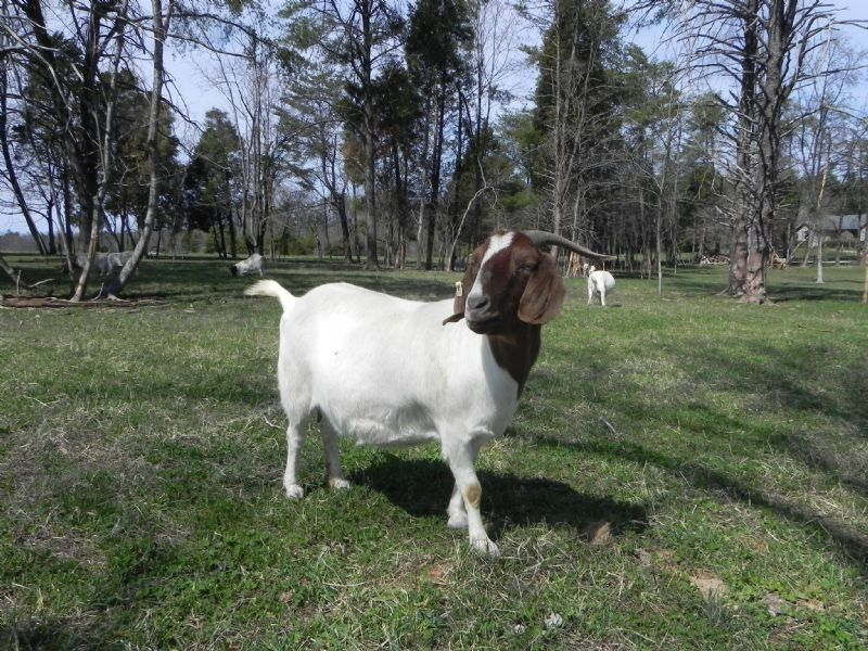 Cane Run Creek's Jendayi #71P - Boer Goat Doe