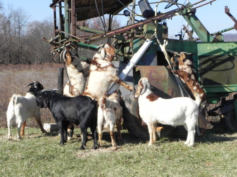 Our Boys Hanging Out - Boer Goat Buck