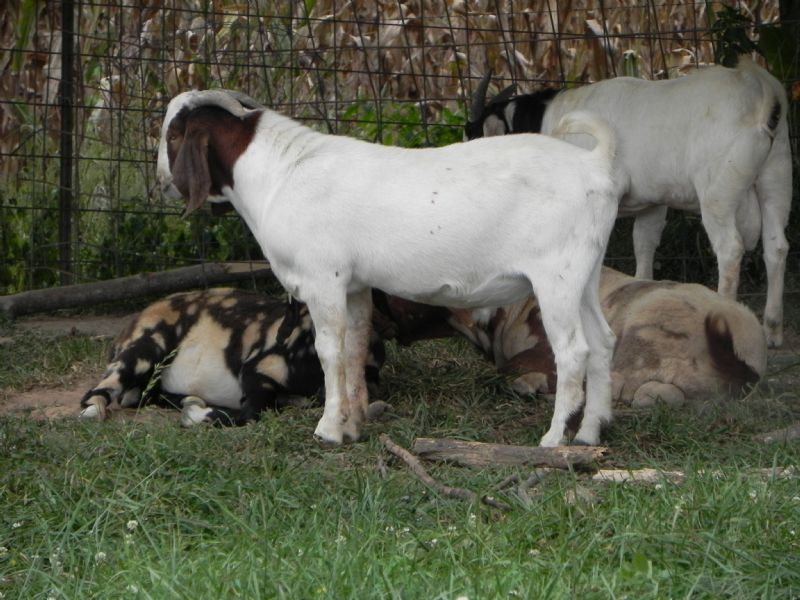 Boer Goat Buck #308 - Previously Sold Goat Buck