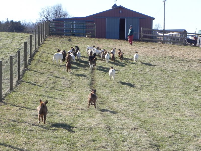 Our Fall 2013 Bucklings For Sale - Boer Goat Buck