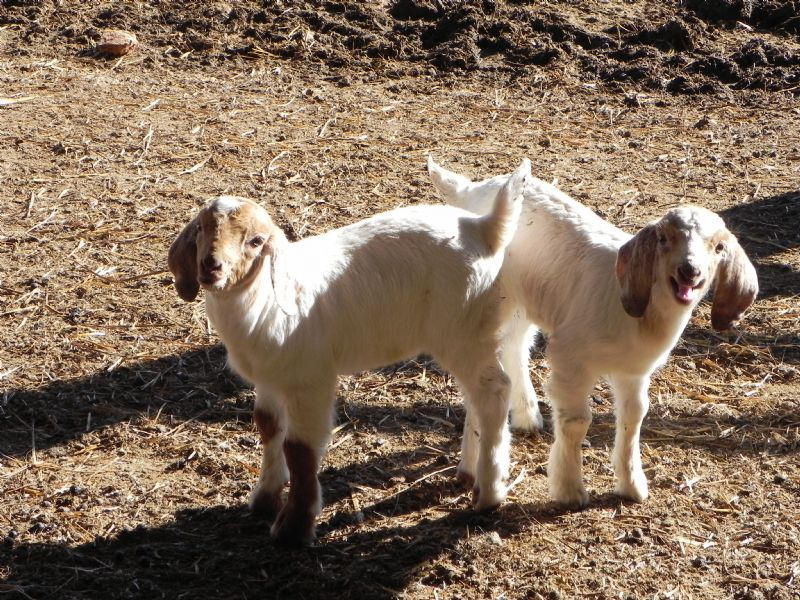 Bottle Babies - Boer Goat Goat Package