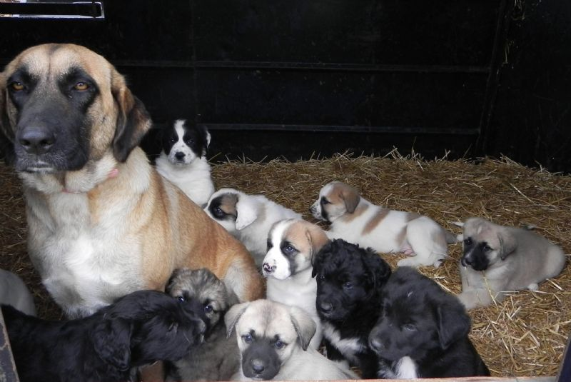 Annie with Litter of 11 Fat Puppies - Previously Sold Dog Puppy
