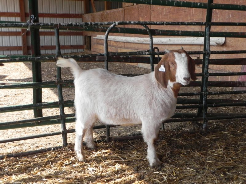 378P Doeling SALE PRICE $375! - Boer Goat Doe