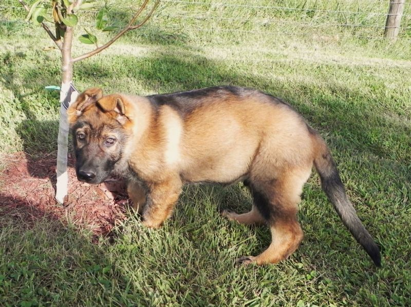 Puppy #1 Male ***SOLD*** - Previously Sold Dog Puppy
