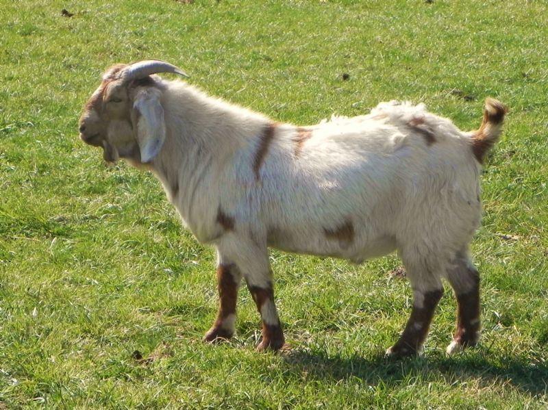 377P  (Sold as Purebred) - Boer Goat Buck