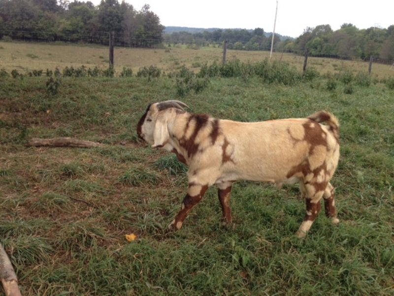 CANE RUN CREEK'S #415 - Boer Goat Buck
