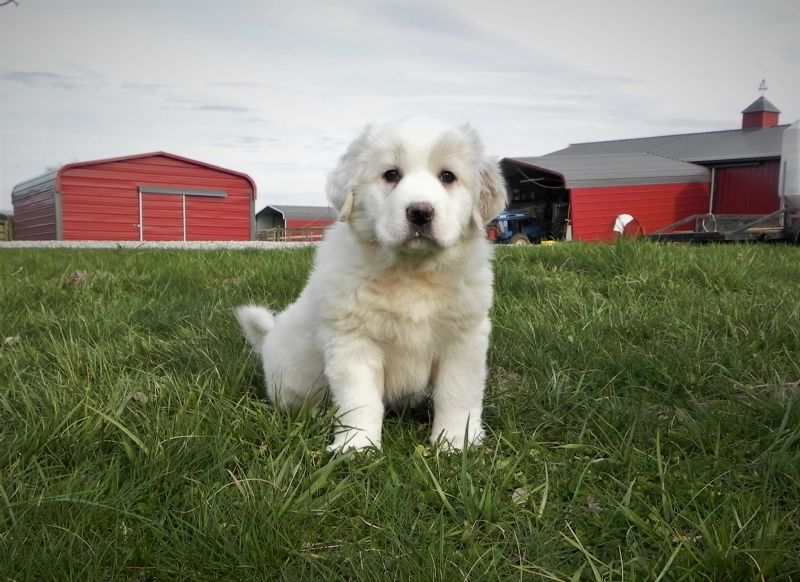ESTER'S #5 FEMALE***SOLD***Courtenay & Stacey - Guard Dog Puppy