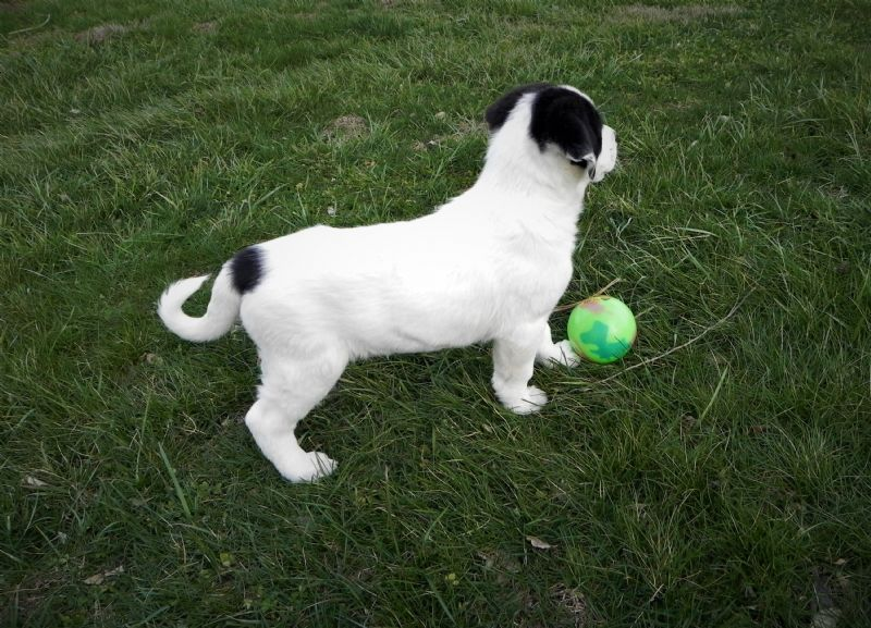 LAYLA'S FEMALE PUPPY #2 ***SOLD**DAVID - Guard Dog Puppy