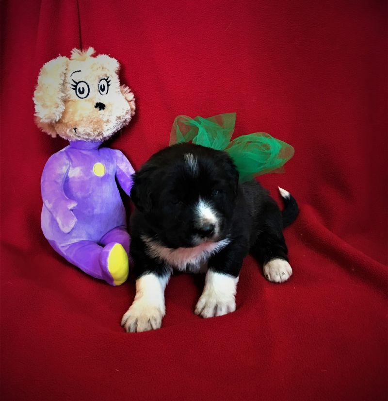 LAYLA & FIDO'S FEMALE PUPPY #8 **SOLD**AARON & TANYA - Guard Dog Puppy