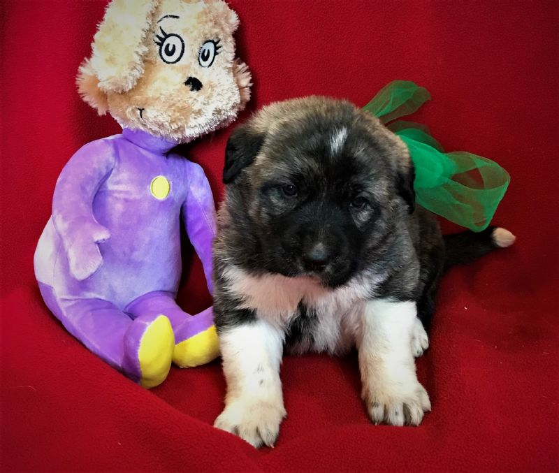 LAYLA & FIDO'S FEMALE PUPPY #9 **SOLD**HEATHER & CHUCK - Guard Dog Puppy