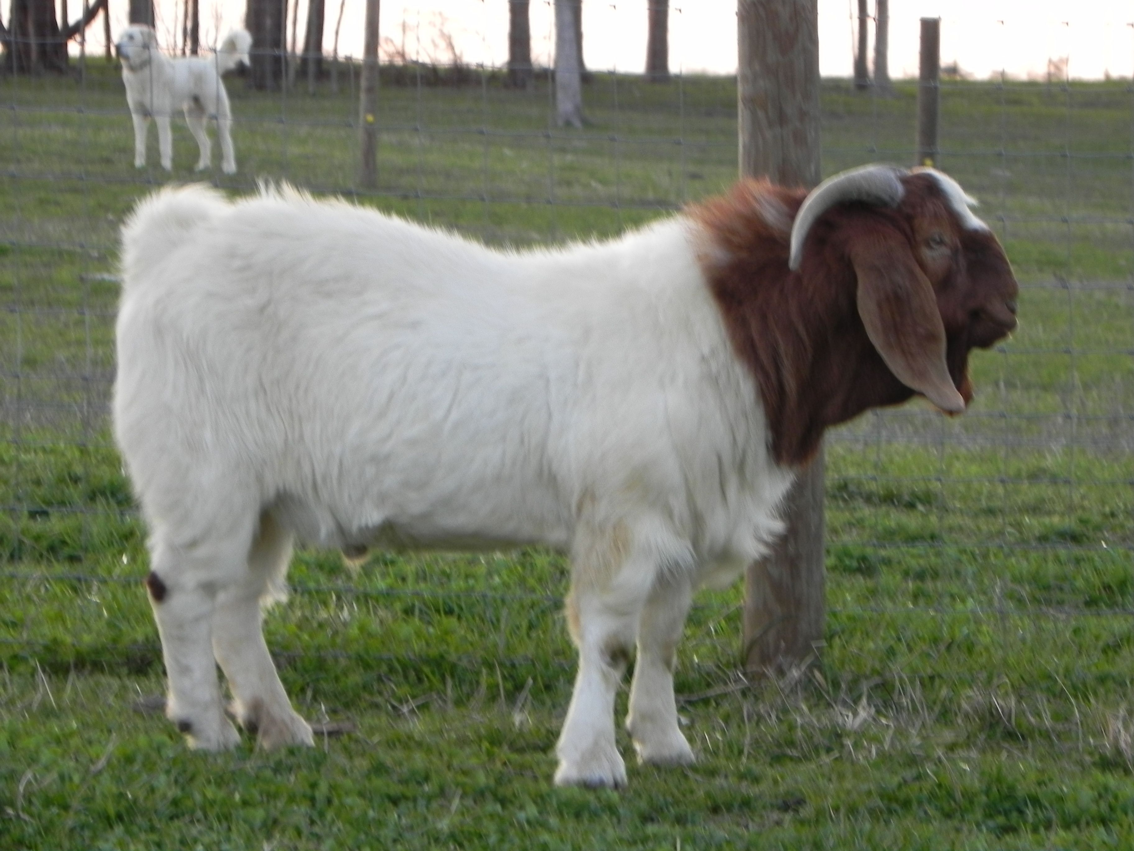 South African Boer Goat Bucks- Boer Goats - photo#12