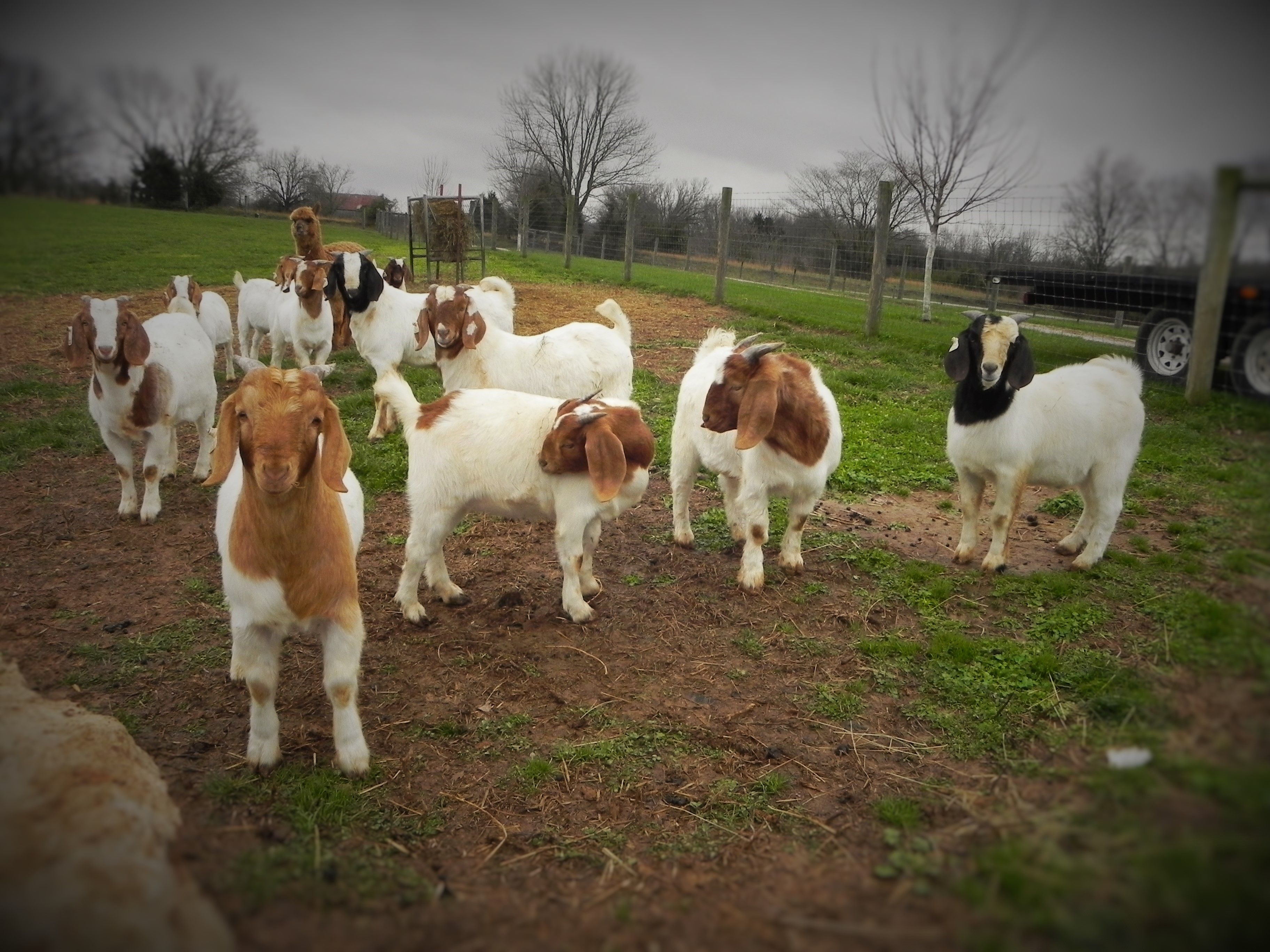 Shorthorn Cattle And Boer Goats Lessons Tes Teach